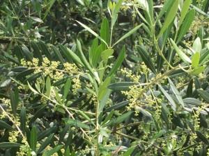 湘南オリーブ・ユニバーサル農場の春