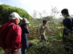 オリーブ栽培農家が教えるオリーブ栽培教室 ~剪定編~