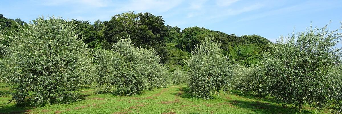 湘南オリーブ・二宮「ユニバーサル農場」第二圃場はイタリア品種中心