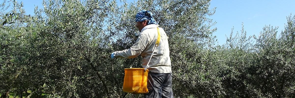 湘南オリーブ・二宮「ユニバーサル農場」オリーブの実の収穫