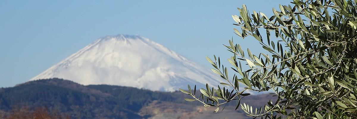 湘南オリーブ・二宮「ユニバーサル農場」オリーブと富士山